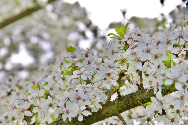 Flower Growth Beauty In Nature Freshness Nature Fragility In Bloom White Color Springtime Blossom Close-up Botany Tree No People Petal Branch Low Angle View Outdoors Blooming Day