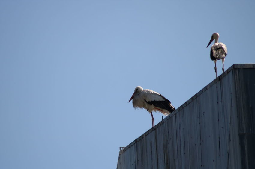 Clear Sky Animal Themes Animal Wildlife Animals In The Wild Bird Day Low Angle View Nature No People Outdoors Stork Storks White Stork Young Stork