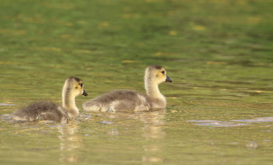 Follow me brother!🐥🐥 Ducks Baby Ducks Baby Ducks On The Lake Ducks In A Row Ducks In The Water Animals In The Wild Young Animal Bird Animal Wildlife Swimming Animal Themes Nature Lake Water in United States