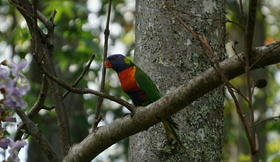 Bird Lorikeet Rainbowlorikeet Wildlife Nature Tree