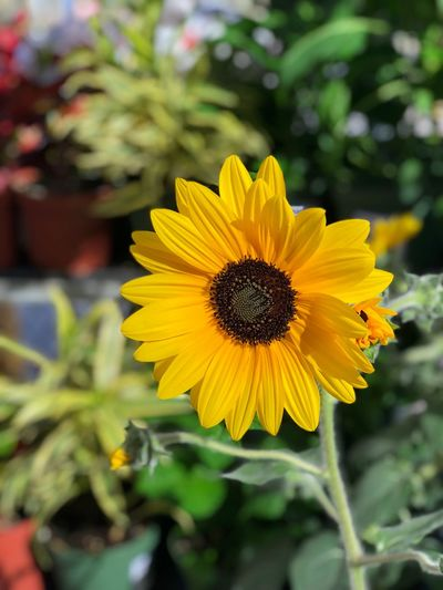 Sunflower Flower Yellow Growth Petal Fragility Nature Flower Head Plant Freshness Beauty In Nature Close-up Blooming Outdoors Focus On Foreground No People Day Leaf EyeEmNewHere
