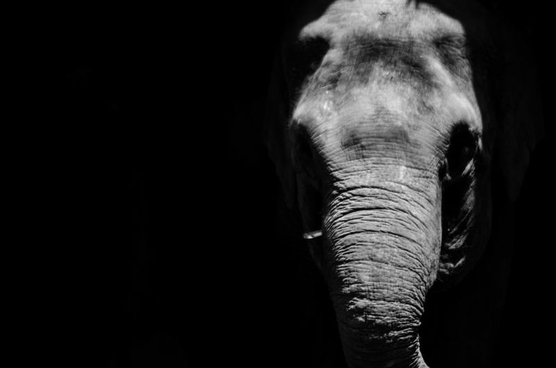 Close-up of elephant over black background