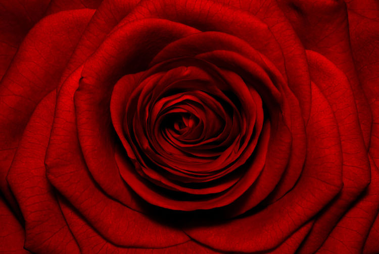 Macro image of dark red rose.Extreme close-up with shallow dof. Backgrounds Beauty In Nature Center Close-up Flower Flower Head Full Frame Nature No People Outdoors Petal Red Red Red Dark Rose Roses