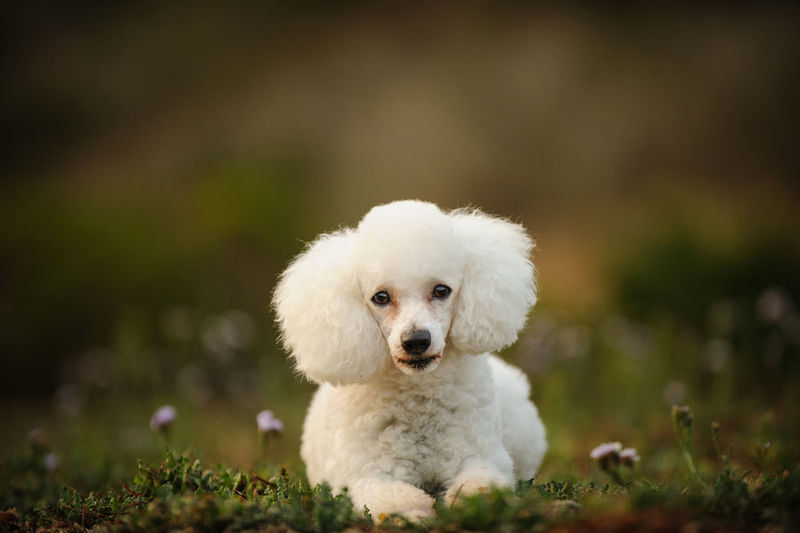 White Miniature Poodle dog outdoor portrait Poodle Animal Themes Close-up Day Dog Domestic Animals Grass Looking At Camera Mammal Mini Miniature Poodle Nature No People One Animal Outdoors Outside Pets Portrait White White Color