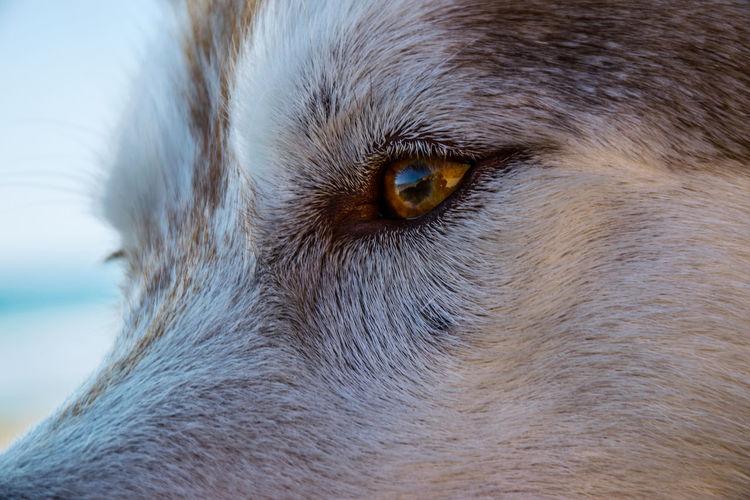 Husky Whisker Eye Dog Close-up Animal