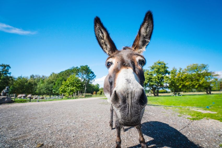 Close up of a donkey looking funny Close-up Mule Cute Shrek Donkey Pick Me Funny Animal Mammal One Animal Animal Themes Sky Nature Plant Sunlight Animal Body Part Looking At Camera Domestic Animals Blue Day No People Clear Sky Portrait Pets Domestic Tree Animal Wildlife