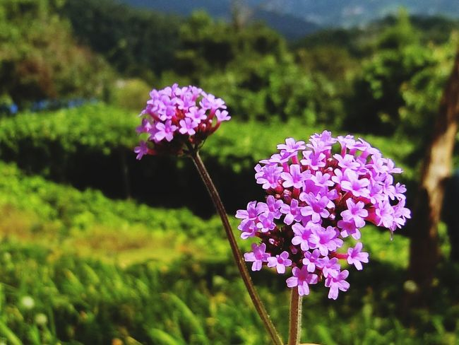 Flower Purple Fragility Focus On Foreground Growth Nature Beauty In Nature Freshness Petal Plant No People Day Flower Head Blooming Pink Color Close-up Outdoors Animal Themes