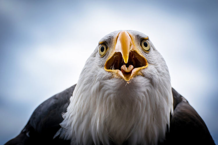EyeEm Best Shots EyeEm Nature Lover Nikon D3300 Adler Animal Animal Body Part Animal Eye Animal Head  Animal Themes Animal Wildlife Animals In The Wild Bald Eagle Beak Bird Bird Of Prey Close-up Eagle Eagle - Bird Looking At Camera Nature One Animal Portrait Weißkopfseeadler Yellow Eyes