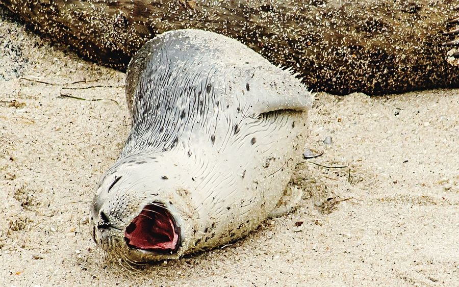 Big Yawn Baby Seal Baby Animal Seal Yawning One Animal Sand Beach Animals In The Wild Animal Wildlife Animal Themes Day Sea Life Outdoors Nature Close-up Mammal The Great Outdoors - 2017 EyeEm Awards Sommergefühle