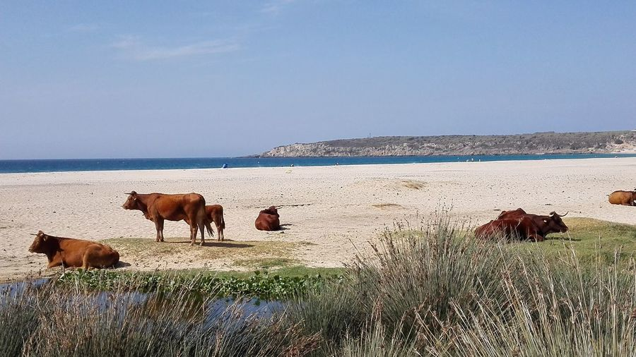 Playa beach bolonia vacas arena mar sand blue azul costa spain Domestic Animals Agriculture Outdoors Sky Animal Nature Viajar playa beachArena Cost Mammal Livestock Animal Themes No People Day Break The Mold The Great Outdoors - 2017 EyeEm Awards Your Ticket To Europe Perspectives On Nature
