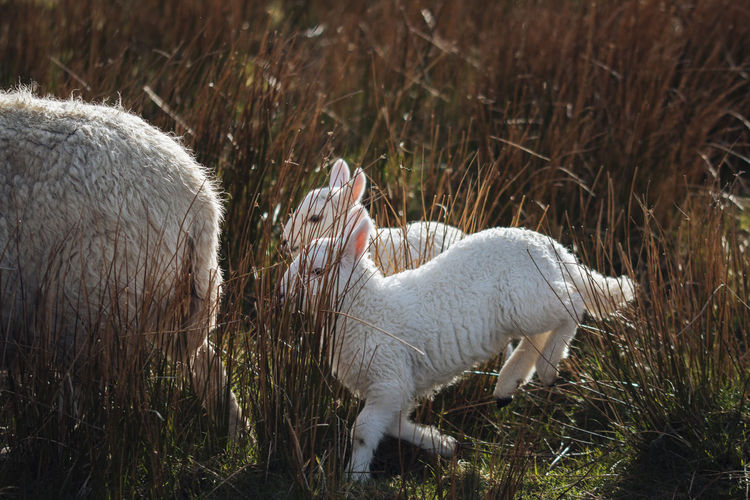 Side view of lambs on field