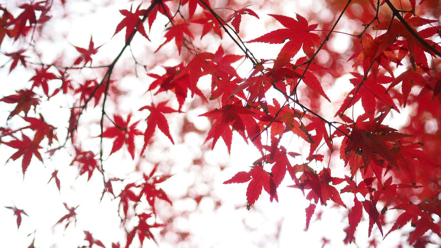 Red color maple leaf and blur white light bokeh on sky for background. Plant Autumn Red Tree Change Branch Beauty In Nature Growth Plant Part Low Angle View Leaf Close-up No People Day Nature Maple Leaf Backgrounds Focus On Foreground Selective Focus Full Frame Maple Tree Outdoors Leaves Natural Condition Red Color Maple Leaf And Blur White Light Bokeh On Sky For Background. Maple; Red; Tree; Autumn; Leaves; Leaf; Nature; Background; Fall; Foliage; Season; Sky; Beautiful; Color; Canada; Forest; Park; Beauty; Scene; Bright; White; Colorful; Orange; Sunlight; Autumnal; Natural; Branch; Texture; Abstract; Isolated; Plant; Outdoo