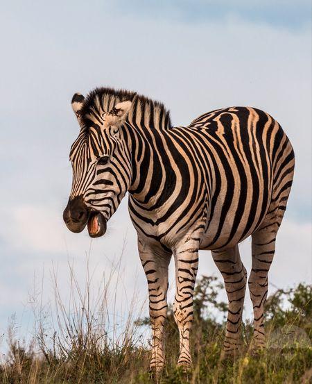 Plains 🦓Zebra Africa Zebra Animal Themes Animal Animal Wildlife Mammal Animals In The Wild Zebra Striped No People One Animal Safari Nature Animal Markings Standing