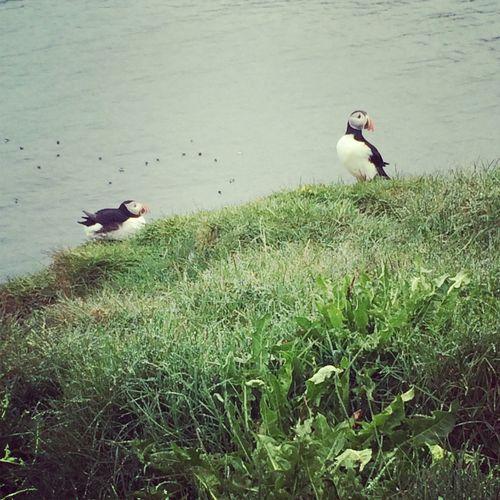 Puffins Papageitaucher Iceland Latrabjarg Westermost Real Nature Ocean View Animals