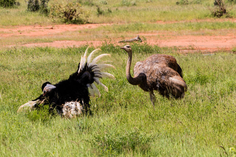 Mating Animal Animal Themes Animal Wildlife Animals In The Wild Bird Day Field Grass Green Color Group Of Animals Herbivorous Land Mammal Mating Dance Nature No People Ostrich Outdoors Plant Safari Tsavo East Two Animals Vertebrate Wildlife