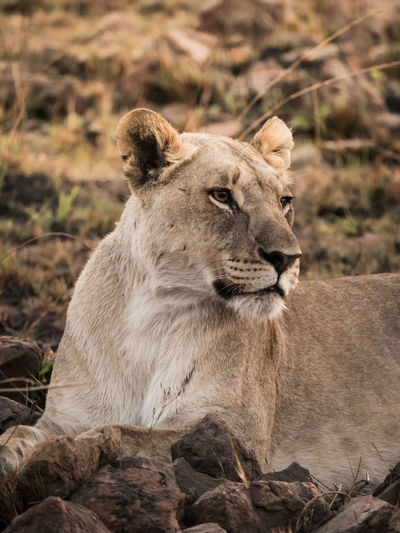 Lioness relaxing on field
