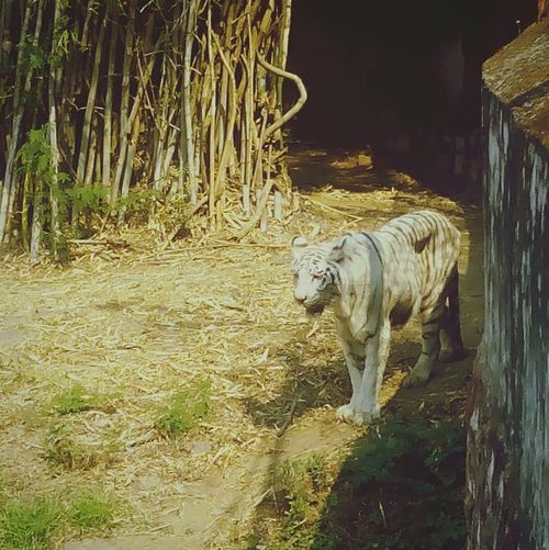 Hungry White Tiger.. Nature Wildlife White Tiger Green Grass Bamboo Trees Zoo Raipur India