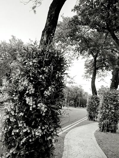 Sideways Sidewalk Along The Way Tree Ornamental Plant Plant On Tree Orchid Orchid On Tree Orchid Flower Orchids Collection View View Photography Landscape Landscape Photography Perspective Perspective Photography Nature Nature Photography Flower On The Tree Flower Collection Black And White Black And White Photography