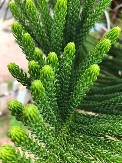 Tiered Tiered Pine Green Color Plant Growth No People Close-up Nature Beauty In Nature Leaf Freshness Green