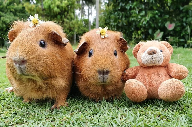 Close-up of guinea pigs and stuffed toy on field