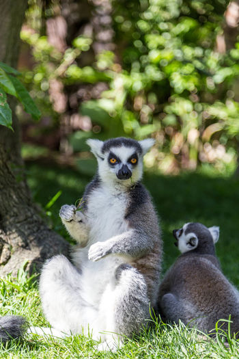 Cute ringtailed lemur... Animal Animal Themes Animals Animals In Captivity Bio Park Spain Cute Cute Animals FUENGIROLA  Fuengirola Spain Fuengirola Zoo FUNNY ANIMALS Lemur Lemurs Nature Ringtail Lemur Ringtailed Lemur Ringtailedlemur Spanish Zoo Wildlife Wildlife & Nature