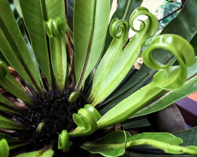 Green Color Growth Plant Leaf Nature High Angle View Close-up No People Freshness Day Beauty In Nature Outdoors Pokok Sakat Bird Nest Fern Asplenium Nidus EyeEmNewHere The Week On EyeEm