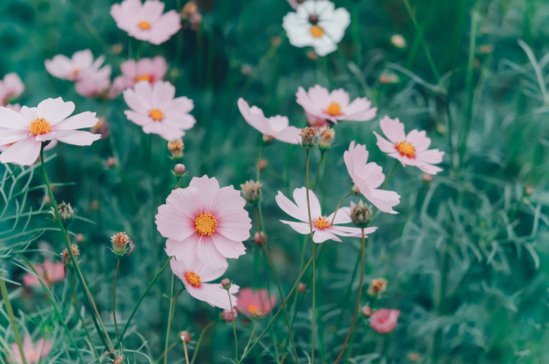 Flowering Plant Flower Plant Freshness Fragility Growth Vulnerability  Beauty In Nature Petal Flower Head Inflorescence Nature Close-up Land Field No People Outdoors Day Green Color Cosmos Flower Pollen Softness Spring