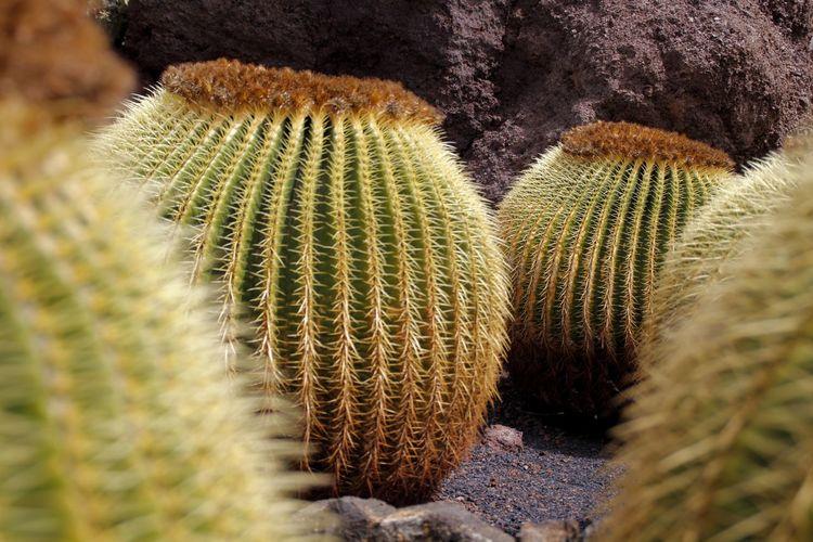 Macro EyeEm Selects Nature Desert Cactus Close-up Plant Barrel Cactus Thorn Prickly Pear Cactus Spiky Succulent Plant Spiked Sharp Needle - Plant Part Saguaro Cactus Growing