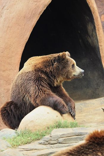 Animal Animal Themes Animal Wildlife Animals In Captivity Animals In The Wild Bear Brown Day Mammal Nature No People One Animal Outdoors Profile View Rock Rock - Object Side View Solid Vertebrate Zoo