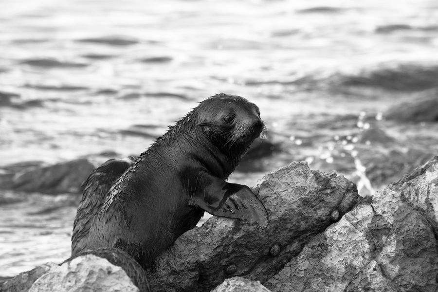Young baby Sea Lion climbing out of the sea on a rock. Animals B & W  Baby Baby Sea Lio Black And White Blackandwhite Close-up Day Eye-contact Focus On Foreground Mammal Nature No People Outdoors Rock Sea Sea Lion Seelöwe Selective Focus Water Wildlife Black And White Photography Black And White Collection