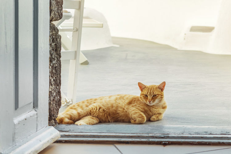 Stray Male Cat In Oia Santorini Clear Sky Famous Ginger Cat Mediterranean  Relaxing Sunny Travel Blue Cat Destination Door Door Step Greece Island Lying Down Oia Santorini Sea Spring Stray Cat Summer Water