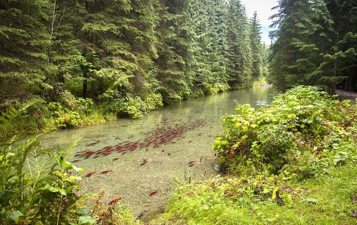 Salmon spawning in British Columbia. Tranquil Scene Water Non-urban Scene Scenics Nature Beauty In Nature River Stream Salmon Spawning Salmon Spawn Fish Swimming Mountain River Mountain Stream Mountain Creek Clear Water Clear River Water Clear Stream Pacific Northwest Beauty Pacific Northwest  British Columbia Canadaswonderland Canada Keep Exploring Landscape_photography Idyllic Remote Lost In The Landscape