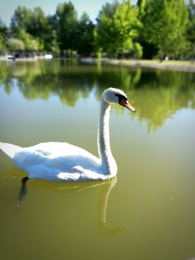 Animals In The Wild One Animal Reflection Lake Bird Swan Animal Wildlife Animal Themes Swimming No People Water Day Nature Outdoors Artistic Photo Goodvibes Travel Destinations Tranquility Lifestyles Healthy Lifestyle Photography Nofilter Real Life Watching You Focal Shot