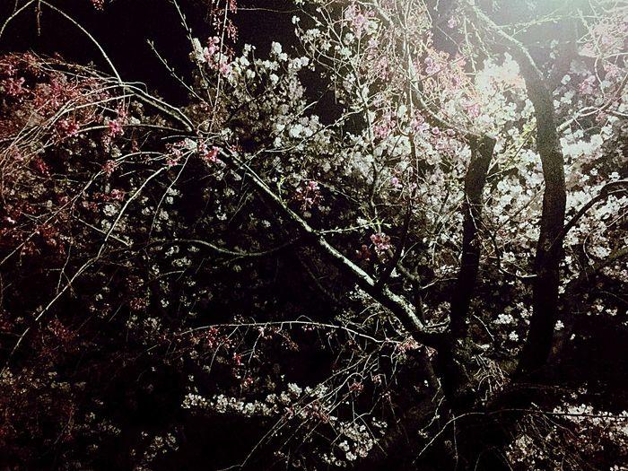 満開の桜とこれから咲く桜。混在しているのがいいね。明日は雨が降るみたいだから今日撮りに来ちゃった。 Flower Tokyo Japan Cherry Blossoms Sakura Yozakura