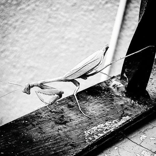 Mantis EyeEm Blackandwhite Nature NaturalStructureProyect Insect Praying Mantis