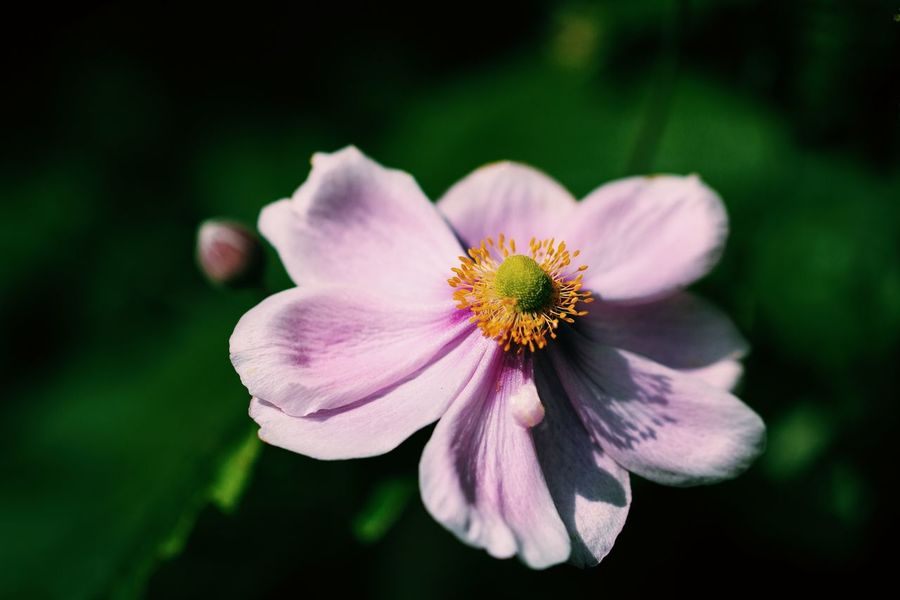Japanese Anemone Pink Beauty In Nature Blooming Blossom Close-up Day Flower Flower Head Fragility Freshness Growth Nature No People Outdoors Petal Pink Color Pink Flower Plant Yellow The Week On EyeEm Perspectives On Nature See The Light