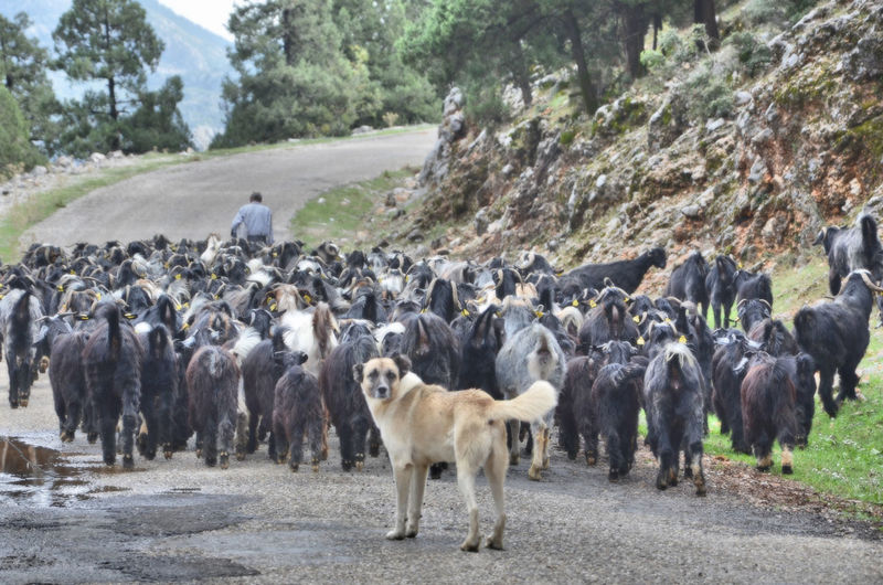 Turkey Animal Themes Day Dog And Goats Domestic Animals Group Of Animals Large Group Of Animals Nature Outdoors Road