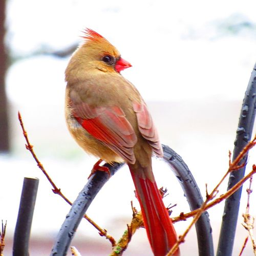 Mama cardinal perched looking out for her partner. Female Birds Of EyeEm  Bird Photography Focus On Foreground Kent, Ohio Wildlife Photography Wing Tail Fethers Eye Beak Canon Wildlife Outside Snow Winter Bird Redbird Cardinal