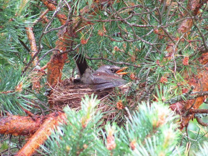 Kwiczoł Nesting Trush Fieldfare Björktrast Nest Animals In The Wild Plant Animal Wildlife Animal Themes Animal One Animal No People Bird Nature Tree Outdoors Beauty In Nature Branch Vertebrate