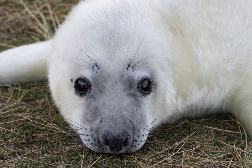 Seal Pups at Dona Nook Animal Themes Animals In The Wild Baby Seal Close-up Day Gray Seal Looking At Camera Mammal Nature No People One Animal Outdoors Portrait Seal Pup White Color Young Animal