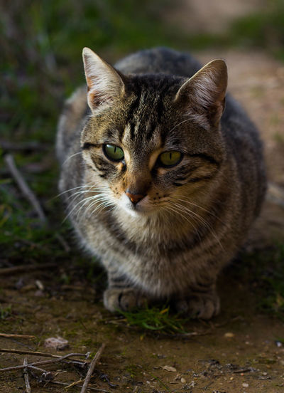 Portrait of tabby cat on field