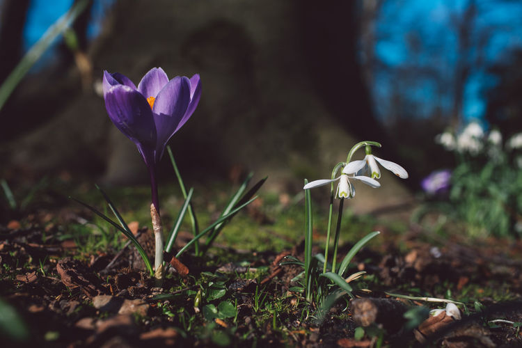 Flowering Plant Flower Plant Fragility Growth Vulnerability  Freshness Beauty In Nature Petal Close-up Nature Land Flower Head Inflorescence Purple Field Iris Day Selective Focus Crocus No People Outdoors Springtime Decadence