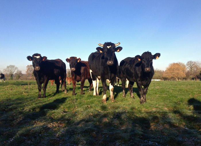 Agriculture Animal Themes Blue Sky Cow Cows Curious Curious Animals Cute Fields Grass Meadow Nature Normandie Normandy Outdoors Pasture Prairie Vache Vaches Vaches Normandes