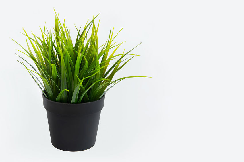 Decorative grass in flowerpot. Isolated on white background Agriculture Gardening Grass Green Green Color Isolated Background Botany Close-up Day Decoration Enviroment Flowerpot Freshness Grassy Green Color Growth Houseplant Interior Leaf Nature No People Plant Potted Plant White Background