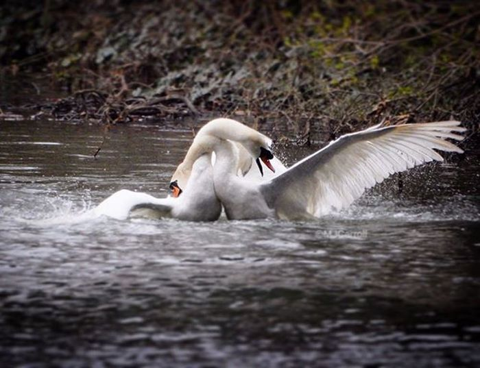 Swans fighting on Riverwitham www.facebook.com/melaniecycles Cyclecommute River Swan Wing Lincoln Lincolnshire Nikon_photography Nikons9900 Nature Cycling Riverbank Swan Waterreflections  Waterfowl Wings Bird Sightsonabicycle Cycle Biketowork Commutebybike Cyclelikeagirl Viewfromthecyclepath Nikon naturephotography