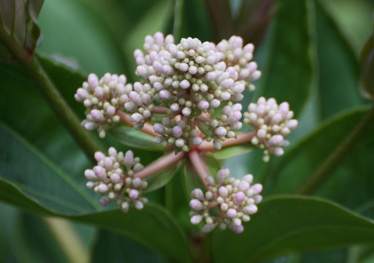 Beauty In Nature Blossom Botany Bud Bunch Of Flowers Close-up Day Flower Flower Head Flowering Plant Fragility Freshness Growth Inflorescence Leaf Lilac Nature No People Outdoors Petal Plant Plant Part Vulnerability