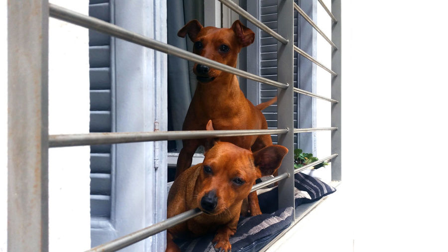 Puppies Looking Through Window