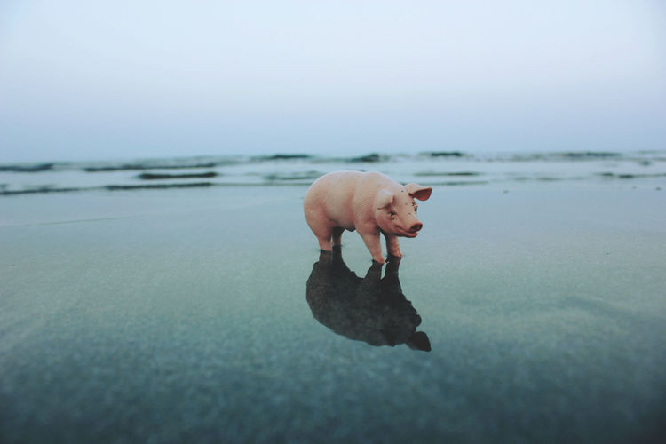 View of pig miniature on calm beach against clear sky