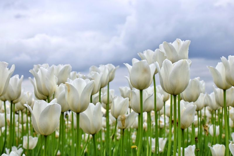 🌸 Flower series 🌸 Flower Nature Growth Beauty In Nature Fragility Petal Plant Freshness White Color Field No People Day Flower Head Tulip Blooming Close-up Outdoors Sky Tulips Flowers White Tulips Tulips🌷 Tulips Beauty In Nature Freshness Clouds And Sky Perspectives On Nature