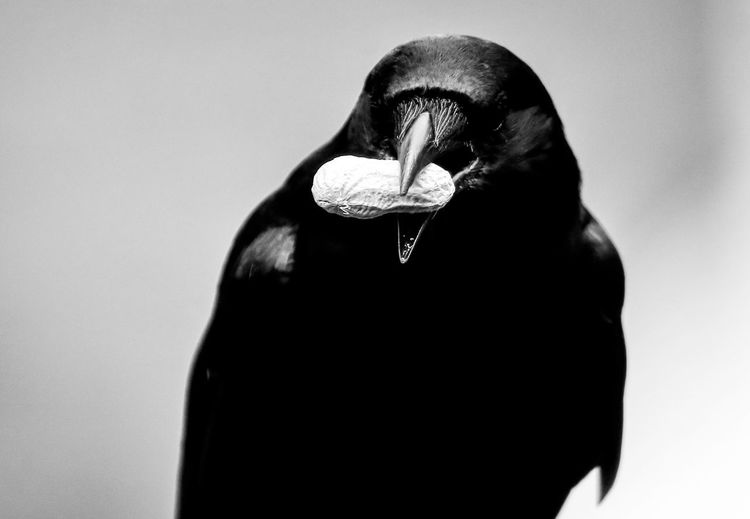 Glossy black Bird Black And White Nature Photographs Black Feathers Focus On Foreground Glossy Hooded Crow Obscured Face One Animal Raven - Bird Sinister White Background